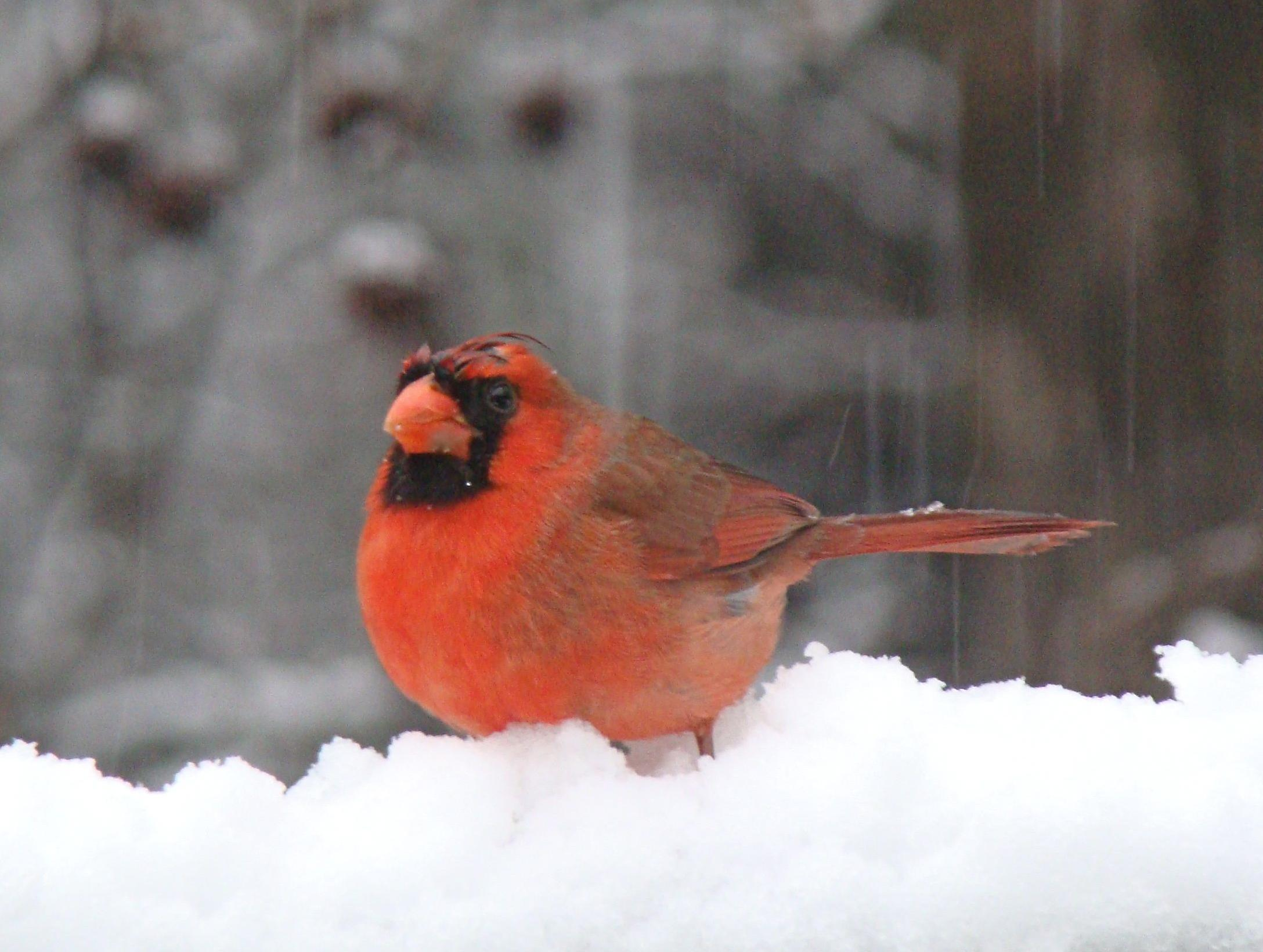 Photo of cardinal in snow